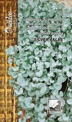 Sidabrinės dichondros Silver falls